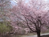 山荘わたりHPトップ_松本奈川 山荘わたり前の御殿桜